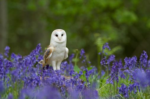 Bluebell「Barn Owl (Tyto alba) perched on tree stump among Bluebells (Hyacinthoides non scripta), Norfolk, UK」:スマホ壁紙(18)