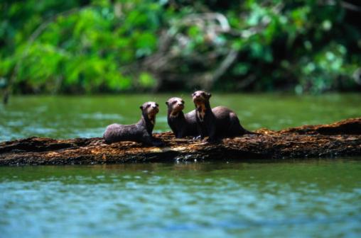 Log「Giant otters (Pteronura brasiliensis) on logs, Peru」:スマホ壁紙(9)