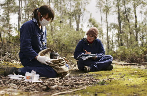 Insurance「Tasmanian Devil Facing Disease Crisis」:写真・画像(11)[壁紙.com]