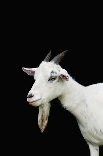 Ewe「Nigerian Dwarf Goat」:スマホ壁紙(11)