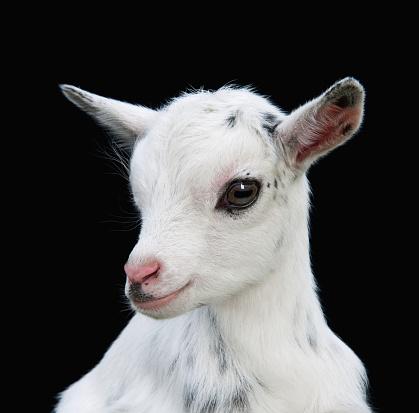 Goat「Nigerian Dwarf Kid Goat」:スマホ壁紙(16)