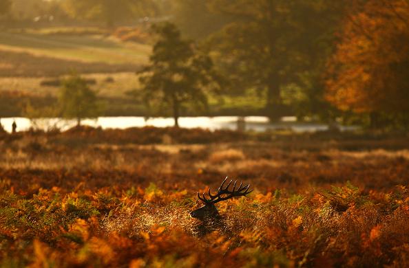 Bracken「Deer In London's Richmond Park」:写真・画像(1)[壁紙.com]