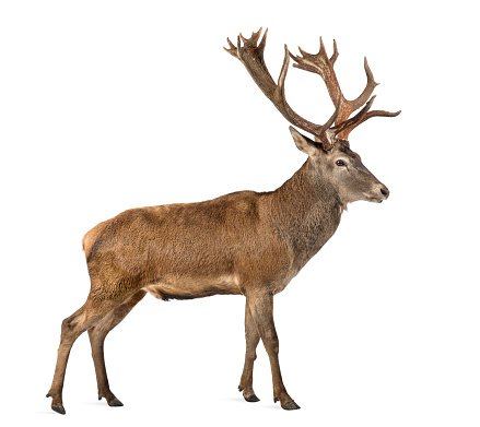 Belgium「Red deer, stag isolated on white」:スマホ壁紙(18)