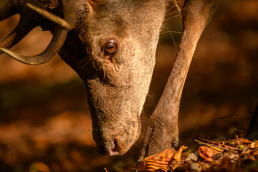 Teenager「Red deer stag in a forest during early autumn」:スマホ壁紙(17)