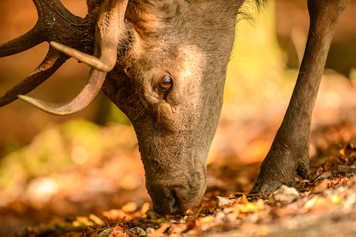Teenager「Red deer stag in a forest during early autumn」:スマホ壁紙(10)