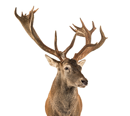 Belgium「Red deer stag in front of a white background」:スマホ壁紙(3)