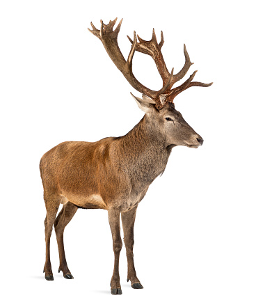 Belgium「Red deer stag in front of a white background」:スマホ壁紙(15)