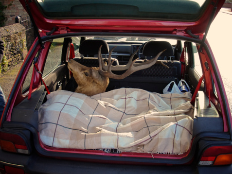自生「Red Deer Stag's head in back of small car」:スマホ壁紙(13)