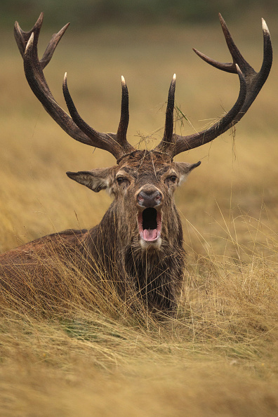 Stag「Deer Rutting In Richmond Park」:写真・画像(6)[壁紙.com]