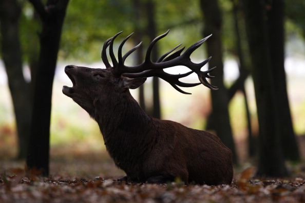 Stag「Autumn Deer Rut In Richmond Park」:写真・画像(8)[壁紙.com]