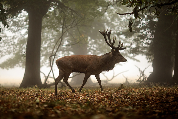Stag「Deer Rutting In Richmond Park」:写真・画像(2)[壁紙.com]
