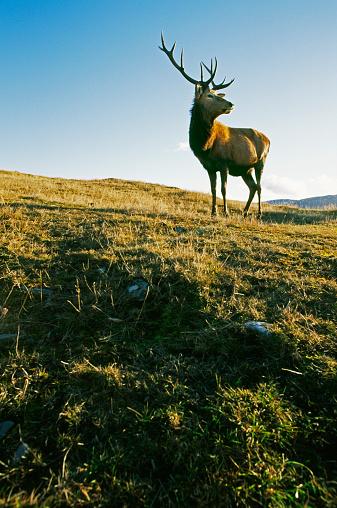 Horned「Red deer stag on grassy hillside」:スマホ壁紙(13)