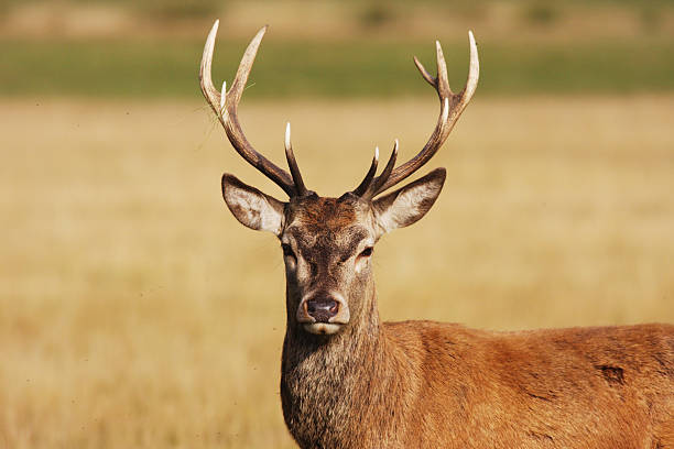 Have a hart red deer stag:スマホ壁紙(壁紙.com)