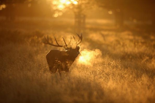 Dan Kitwood「The Autumn Deer Rut In London's Richmond Park」:写真・画像(4)[壁紙.com]