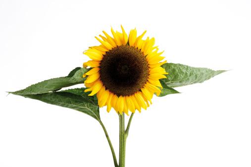 ひまわり「'Sunflower, close-up'」:スマホ壁紙(12)