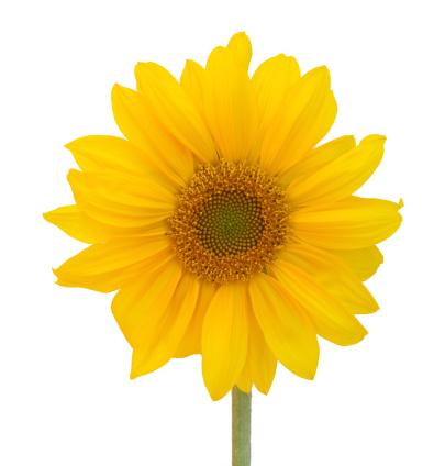 ひまわり「Sunflower, close-up, square format」:スマホ壁紙(6)