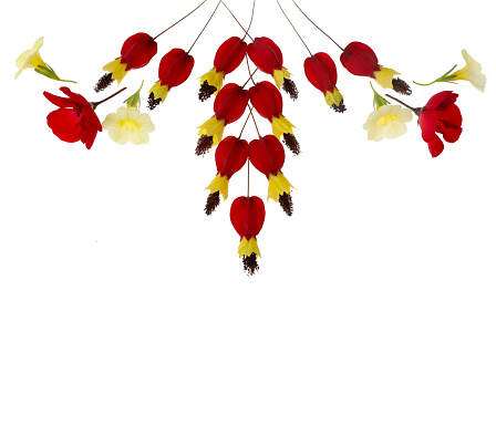 Flowering Maple「Design with red and yellow flowers on white with copy space.」:スマホ壁紙(11)