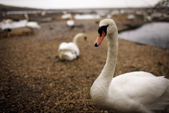 Aquatic Organism「Abbotsbury Swans Threatened By Bird Flu Outbreak」:写真・画像(13)[壁紙.com]