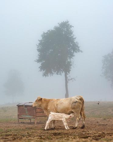 Cattle「Breast feeding....」:スマホ壁紙(7)