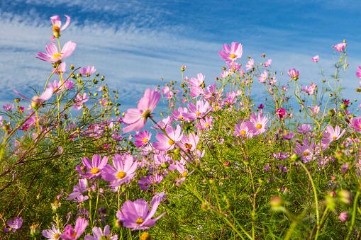 コスモス「Cosmos flowers bloom」:スマホ壁紙(3)