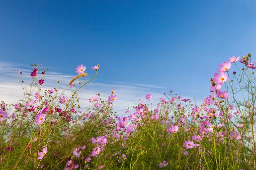 コスモス「Cosmos flowers bloom」:スマホ壁紙(2)