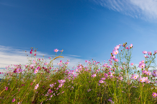 Cosmos Flower「Cosmos flowers bloom」:スマホ壁紙(8)