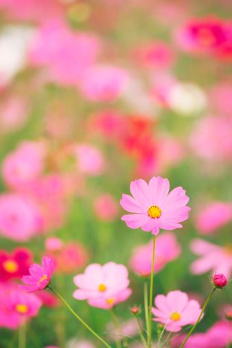 コスモス「コスモスの花」:スマホ壁紙(17)