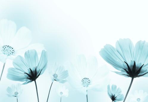 コスモス「コスモスの花」:スマホ壁紙(15)