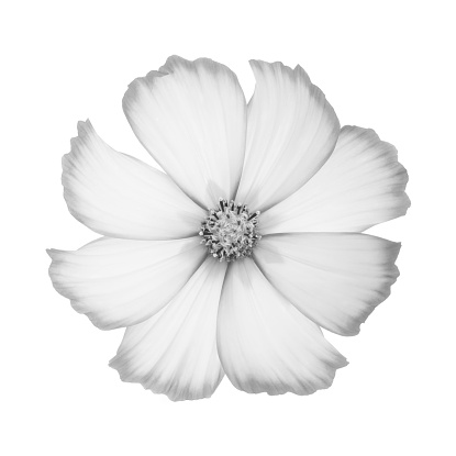 Stamen「Cosmos flower in shades of gray on white square.」:スマホ壁紙(15)