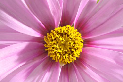 ガーデンコスモス「Cosmos flower, close up」:スマホ壁紙(6)