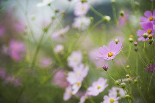 コスモス「コスモスの花」:スマホ壁紙(6)