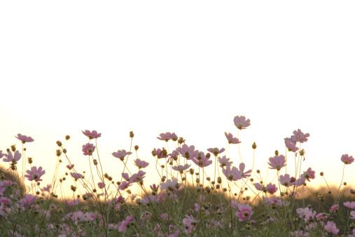 コスモス「Cosmos Flowers」:スマホ壁紙(16)