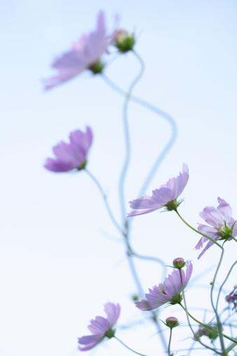コスモス「Cosmos Flowers」:スマホ壁紙(11)