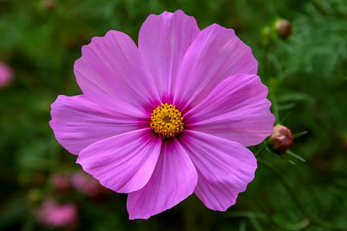 コスモス「Cosmos flower」:スマホ壁紙(4)