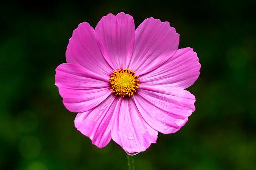 コスモス「Cosmos flower」:スマホ壁紙(1)