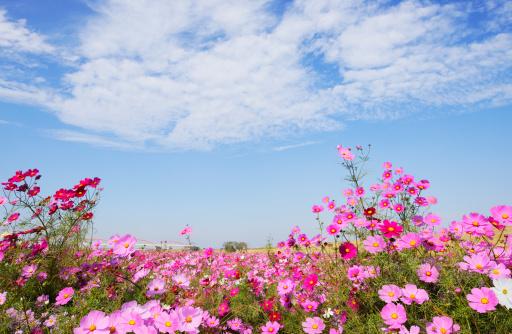 コスモス「Cosmos flowers, Tokyo Prefecture, Honshu, Japan」:スマホ壁紙(15)