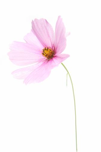 コスモス「Cosmos flower.」:スマホ壁紙(9)