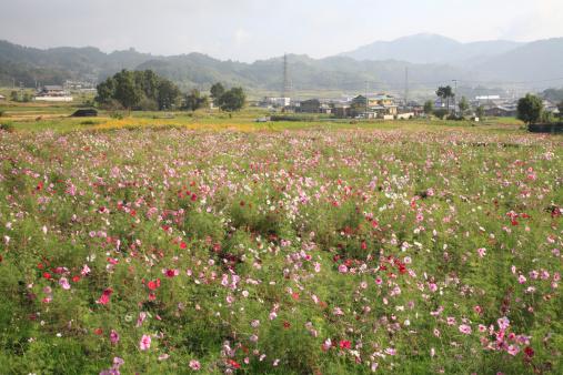 秋+京都「Cosmos Flower Field and Ruins of Kuni-kyo, Kizugawa, Kyoto, Japan」:スマホ壁紙(18)
