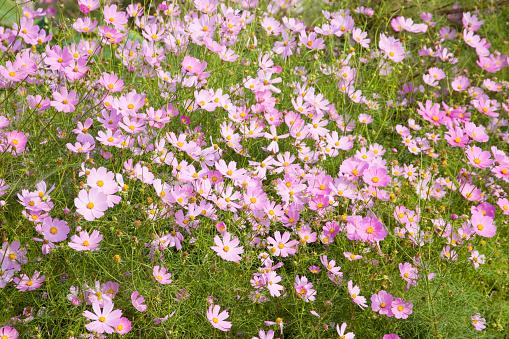 コスモス「Cosmos flowers」:スマホ壁紙(15)