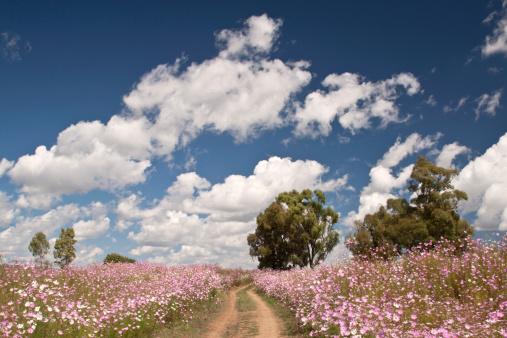 コスモス「Cosmos flowers growing in field, Heidelberg area, Gauteng Province, South Africa」:スマホ壁紙(19)