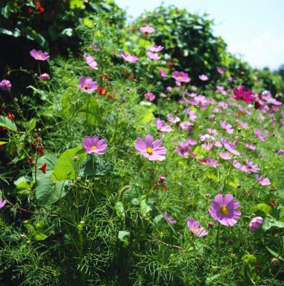 コスモス「Cosmos (Cosmos bipinnatus) flowers」:スマホ壁紙(19)