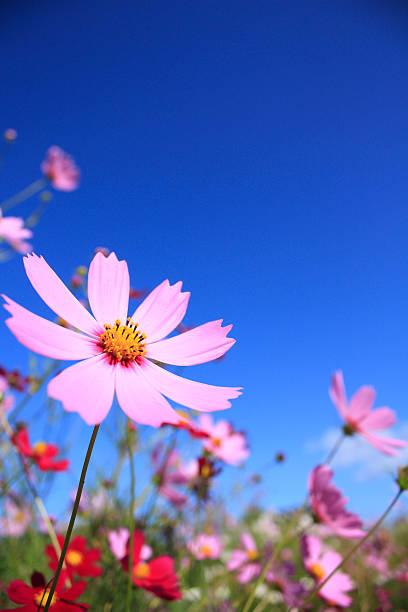 Cosmos Flower Field:スマホ壁紙(壁紙.com)