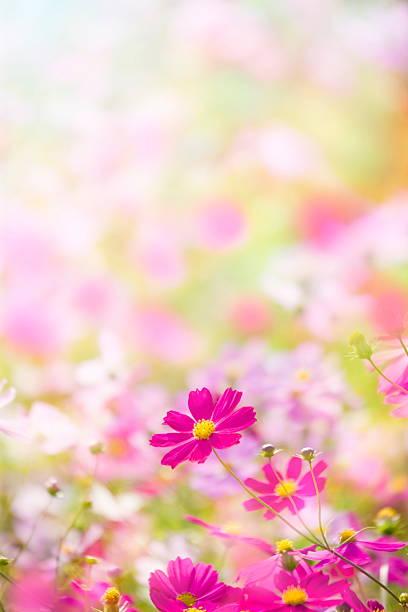 Cosmos flowers:スマホ壁紙(壁紙.com)