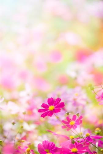 コスモス「Cosmos flowers」:スマホ壁紙(1)