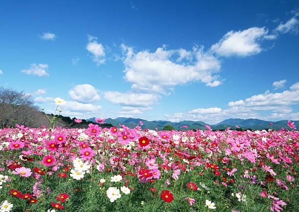 Cosmos flower garden:スマホ壁紙(壁紙.com)
