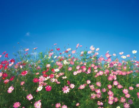 花畑「Cosmos flowers, Yamanashi Prefecture, Honshu, Japan」:スマホ壁紙(15)