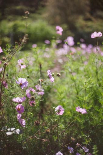 コスモス「Cosmos flowers」:スマホ壁紙(9)