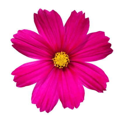 Cosmos Flower「Cosmos Flower.」:スマホ壁紙(10)