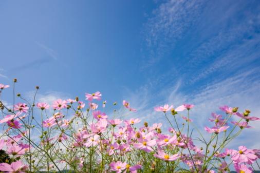 コスモス「Cosmos flowers. Otsu, Shiga Prefecture, Japan」:スマホ壁紙(13)