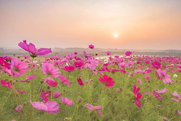 cosmos flowers in the morning:スマホ壁紙(壁紙.com)